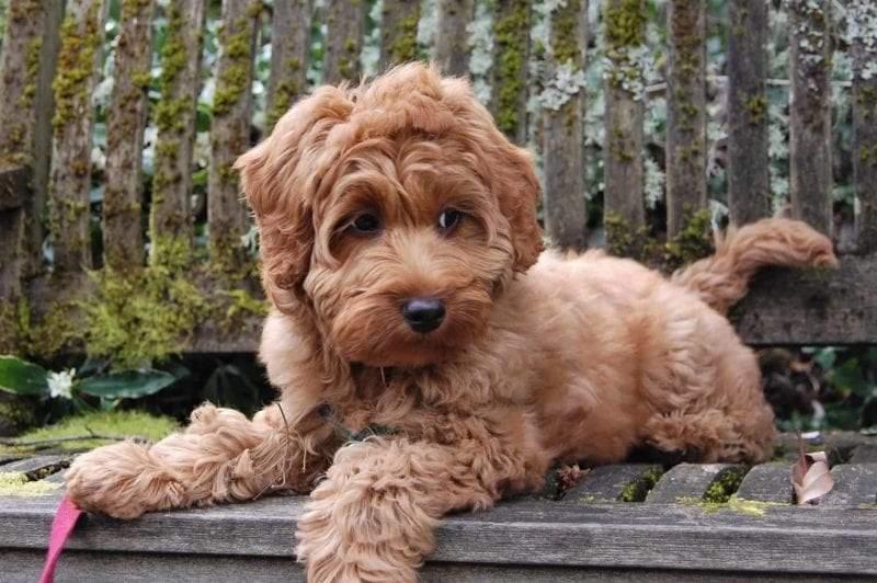 Labradoodle Dog Breeder