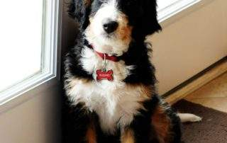 Preferable Bernedoodle