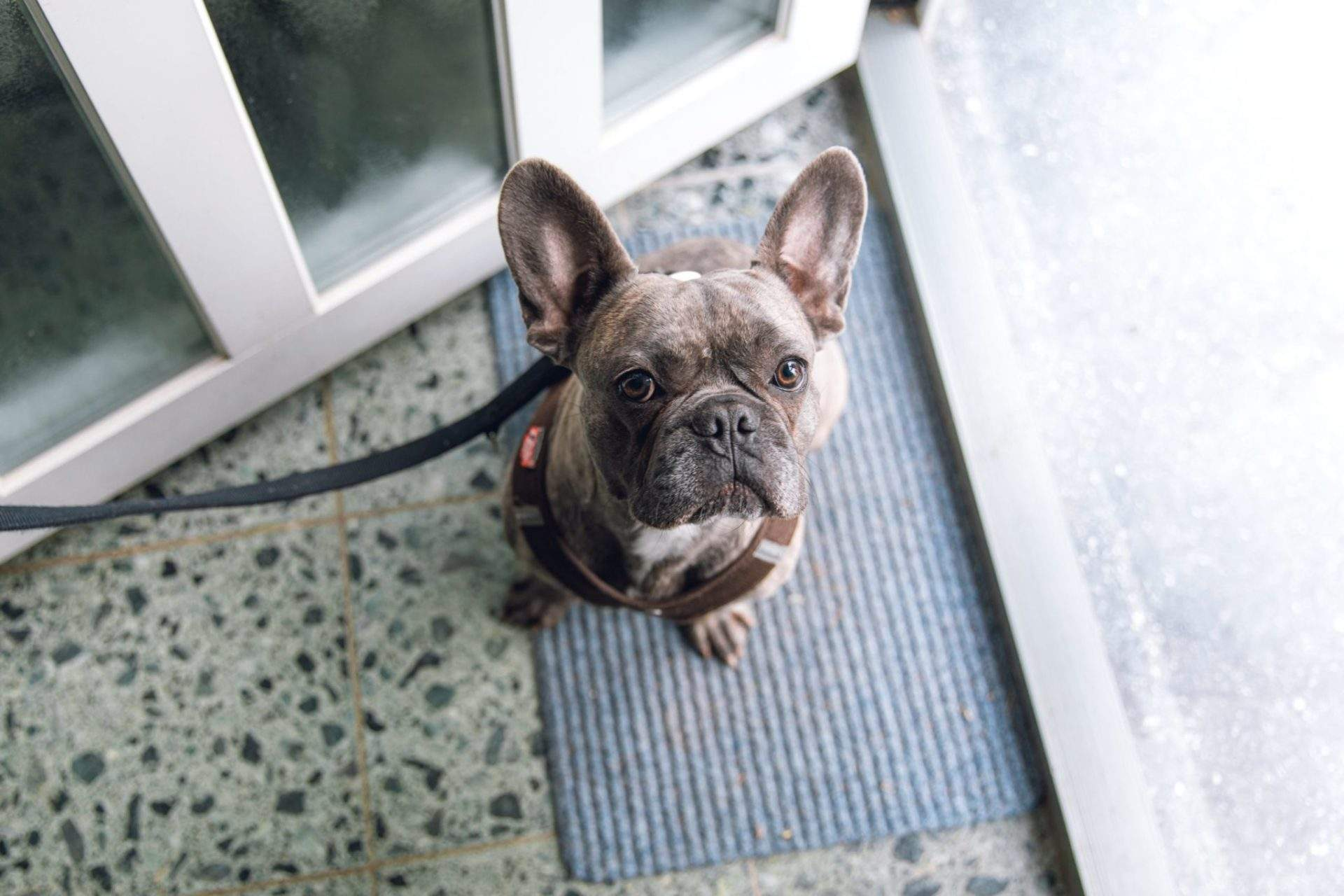 Are French Bulldogs Hypoallergenic