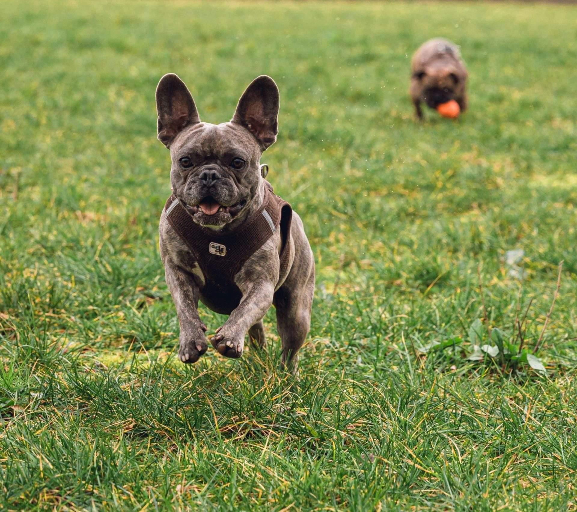 French Bulldog Health Issues