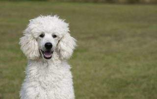 Life Expectancy Of Poodle
