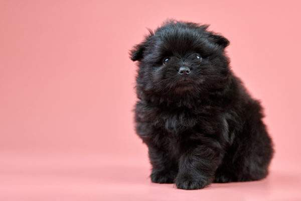 What Were Pomeranians Bred For?
