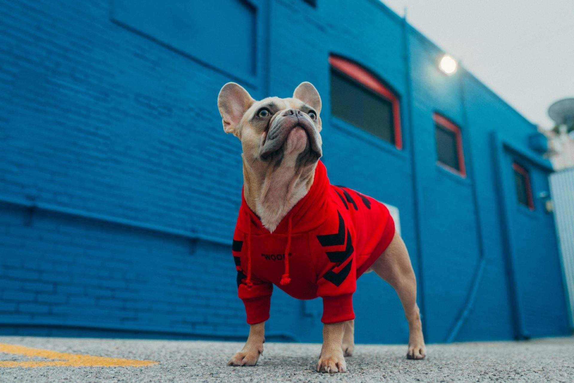 Frenchie Breeders