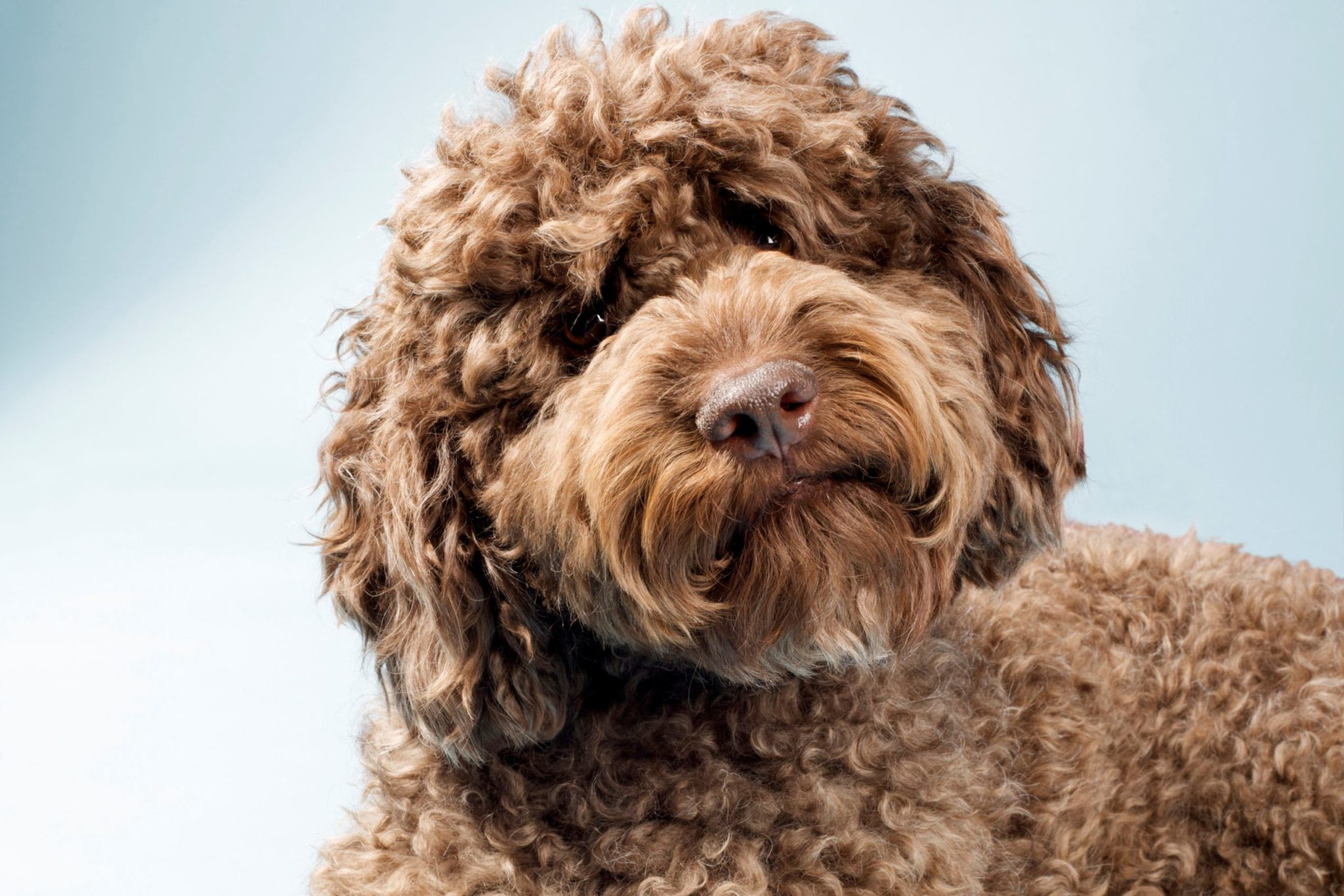 Dog Labradoodle